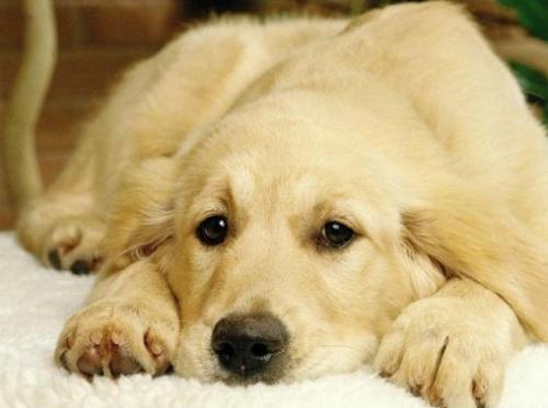 狗狗的图片_什么狗狗最乖?_百度知道