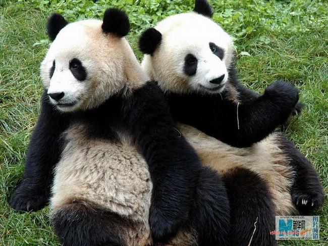 大熊猫为什么是国宝_大熊猫为什么被称之为国宝?_百度知道