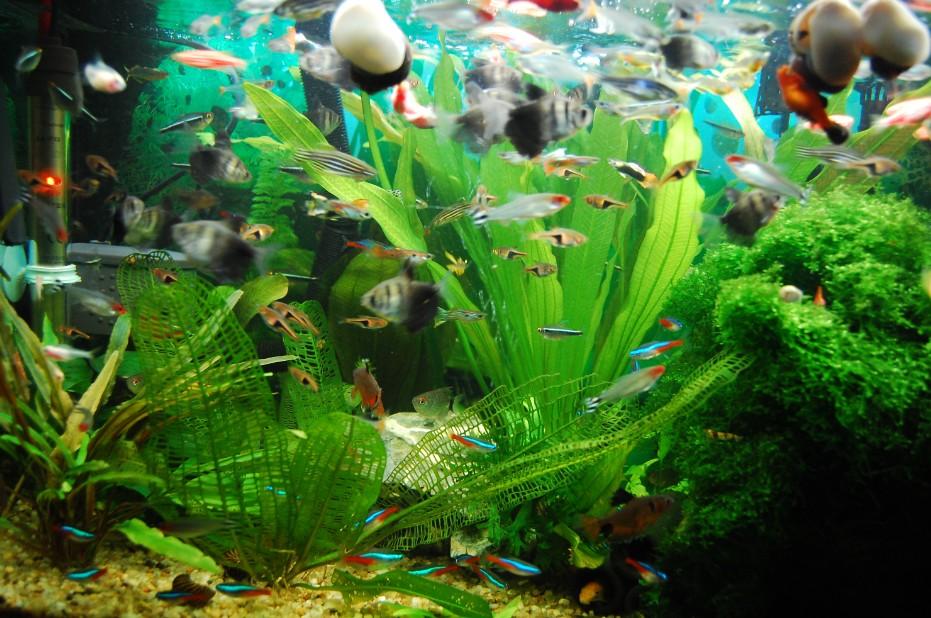 鱼缸如何养冷水鱼_新手养鱼请教,60厘米的鱼缸养几条锦鲤比较好 如何选颜色_百度 ...