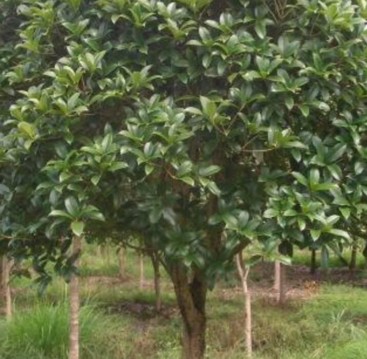 桂枝树_桂皮,桂枝,桂花是同一种树上的东西吗