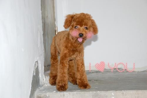 描写小狗的外形_泰迪狗的外貌描写(写段)_百度知道