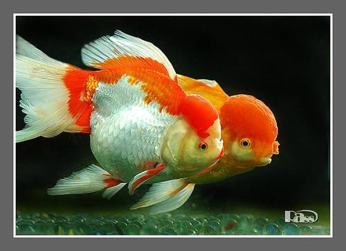 家庭怎样养金鱼视频_金鱼鸿运当头怎么养_百度知道