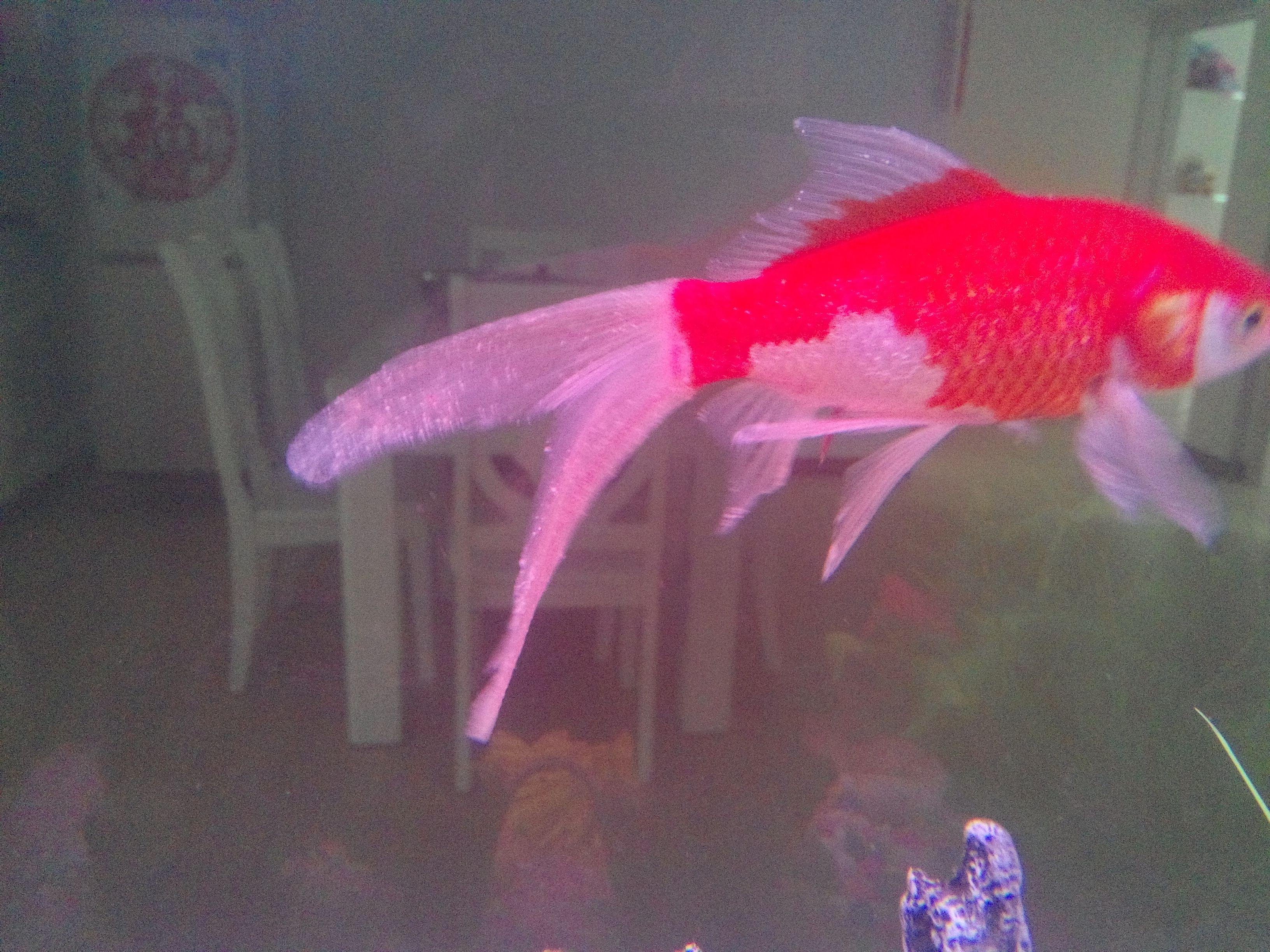梦见金鱼的尾巴长得很长很漂亮? 女人梦见金鱼在水里游