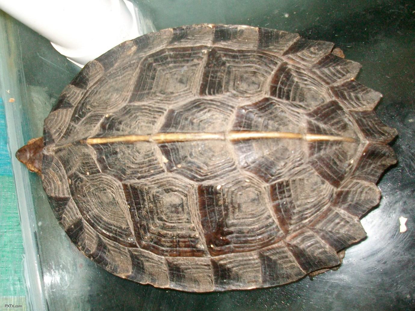 亚洲情龟_亚洲巨龟和庙龟哪个可以长得更大?哪个长得更快?