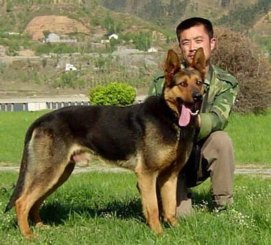 女人与公狗做爱什么感觉_家狗和狼狗交配会生出什么狗?