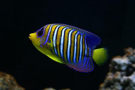 求魚的名字 海洋里的魚的名字 有條紋的 扁扁的圖片