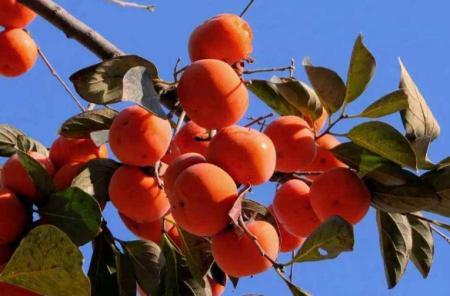 关于西红柿诗词 描写西红柿的诗句