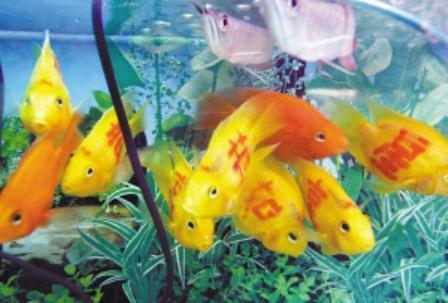 热带鱼为什么要吃自己下的小鱼崽呢?