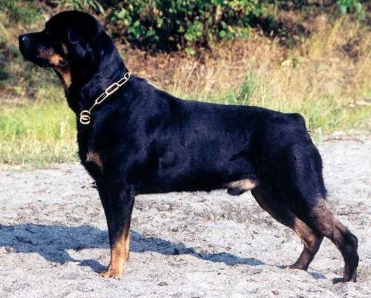 巨型藏獒犬图片_世界10大超大犬种_百度知道