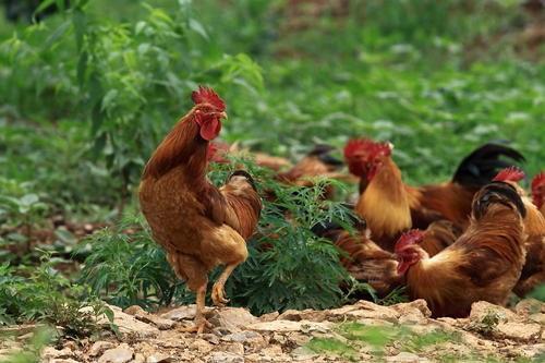 以前农村常见的土鸡,为什么现在很难买得到了?