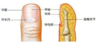 指甲上的月牙是什么?