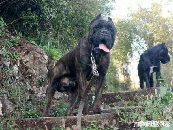 怎么挑选一只优秀的卡斯罗犬?