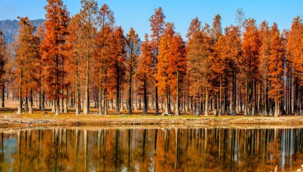 红杉树怎么种植?