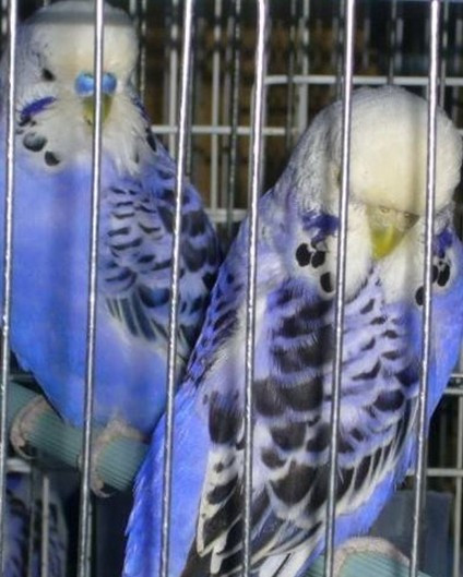 天空蓝灰翅图片_虎皮鹦鹉有哪些品种?图片!!_百度知道