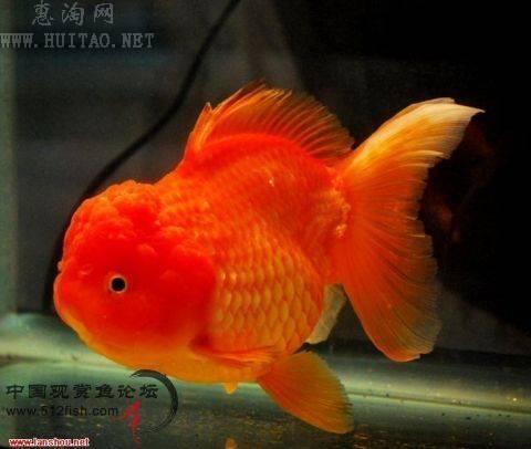 狮子头鱼能长多大_大家最喜欢养什么品种的金鱼?_百度知道