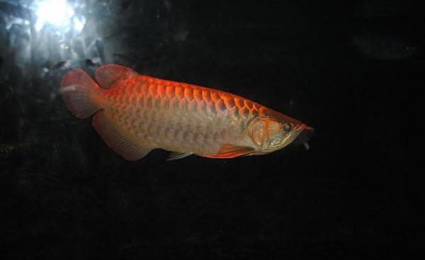 防止龙鱼吃下去刺伤肠胃 水族资讯