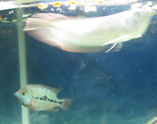龙鱼和罗汉鱼能混养吗?