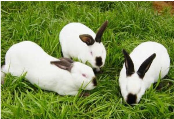 母兔生完小兔后死亡,小兔怎么喂养?