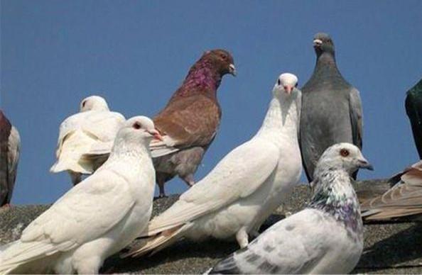 怎样能保证家养的鸽子不飞走?