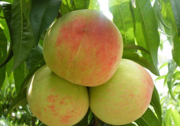 江苏有什么生果特产