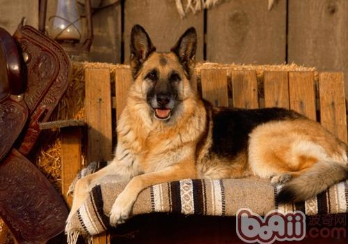 德国牧羊犬的训练注意事项有哪些?