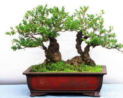 小叶黄杨盆景怎么养护 养护小叶黄杨盆景的方法?