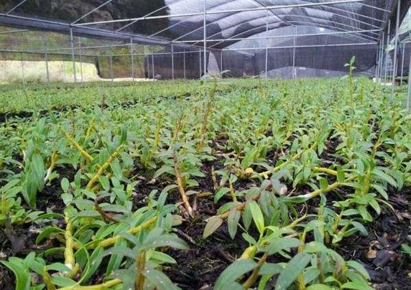 铁皮石斛种植最佳温度图片