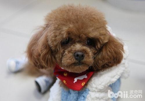 要不要给泰迪犬梳毛?