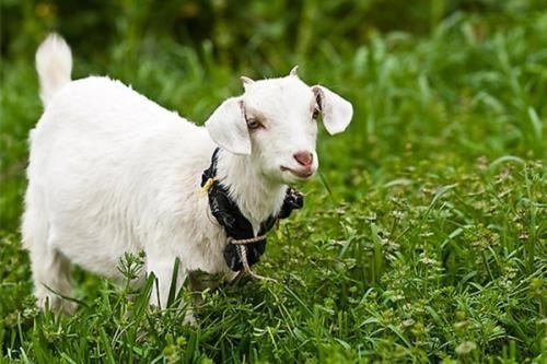 所有的小羊为什么都围绕着领头羊转圈圈?