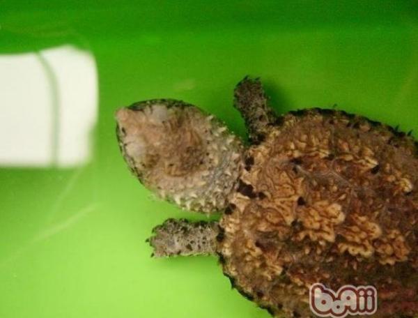 小鳄鱼龟该如何饲养?