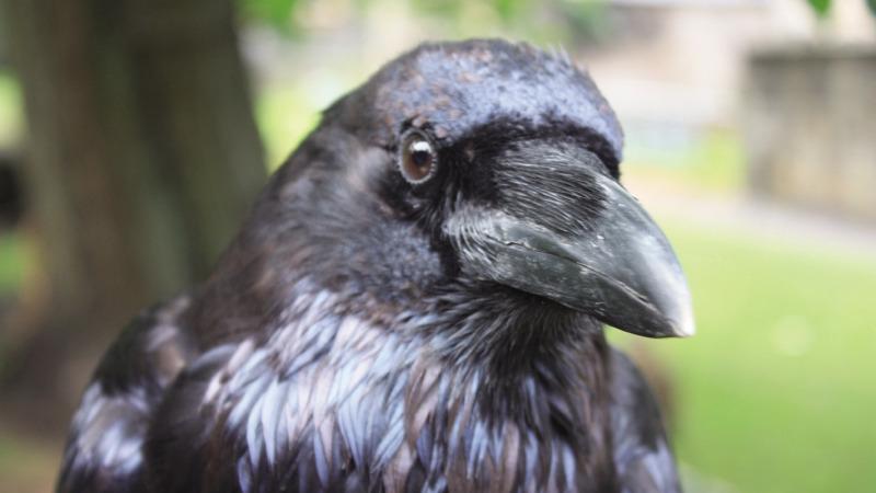 小小乌鸦说,达尔文错了?