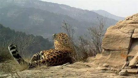 同样有山有水,为什么山西留住了华北豹?