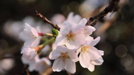 樱花大盘点!春天里的樱花你都认识么?的头图