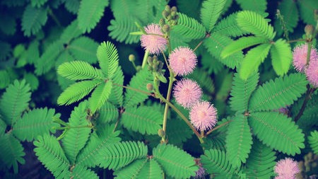 含羞草到底是动物还是植物?