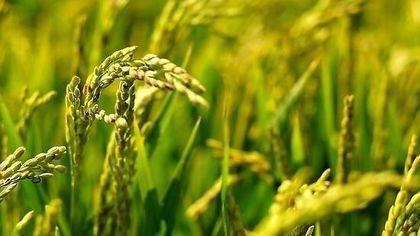 """治好水稻的""""癌症"""", 科学家是怎么做到的?"""