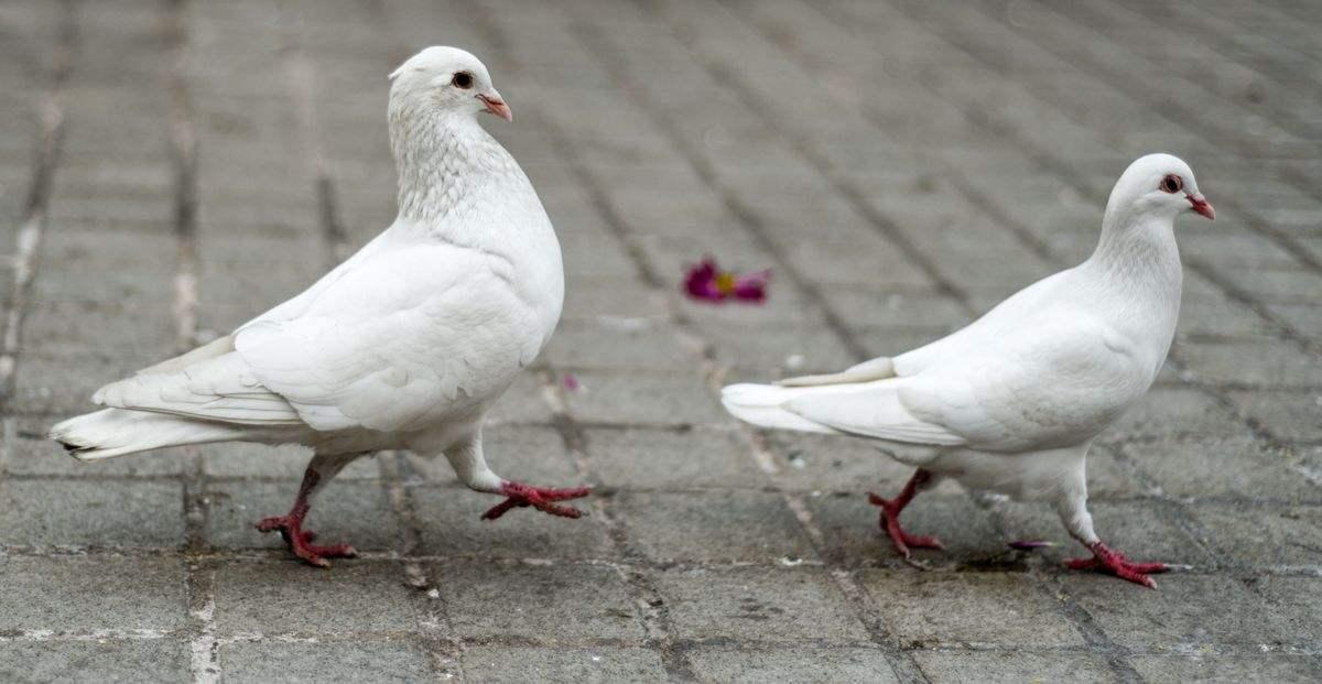鸽子死了有什么预兆