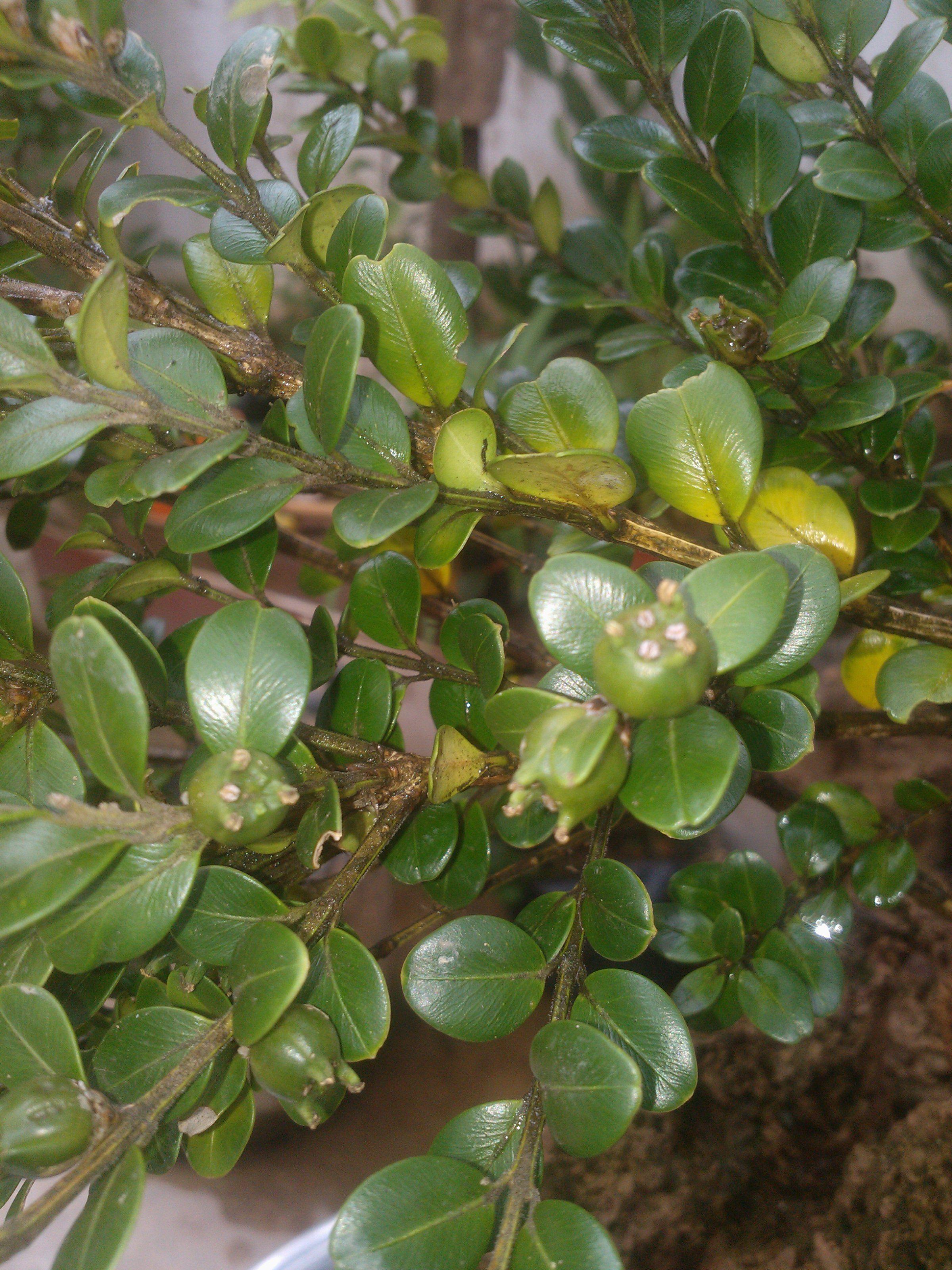 5厘米多长_这是珍珠黄杨吗 叶长1.5厘米 宽1厘米左右 这是它的叶和果_百度知道