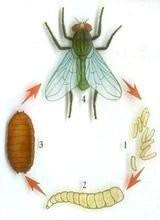 蛆如何变成苍蝇_蛆进化到苍蝇详细是怎么进化的_百度知道