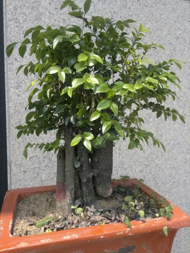 什么的树木_这种是广西山上的野生小叶紫檀树木头,也是有几十年份了 ...