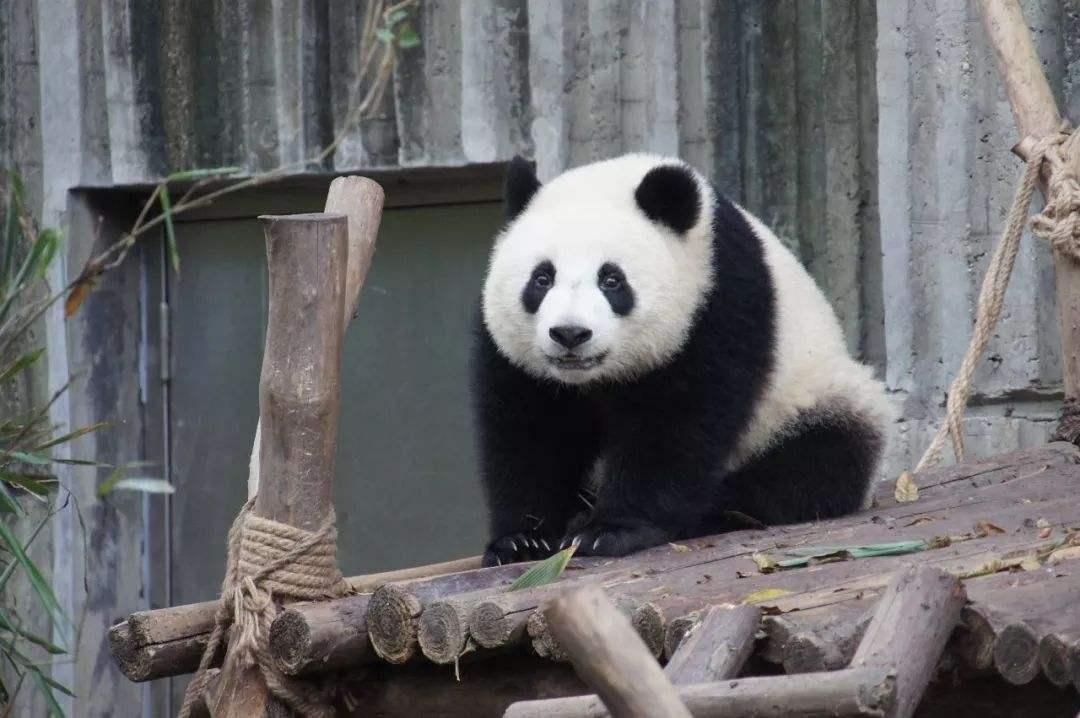 大熊猫为什么是国宝_为什么熊猫是中国的国宝_百度知道