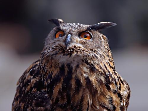 野生猫头鹰多少钱一只