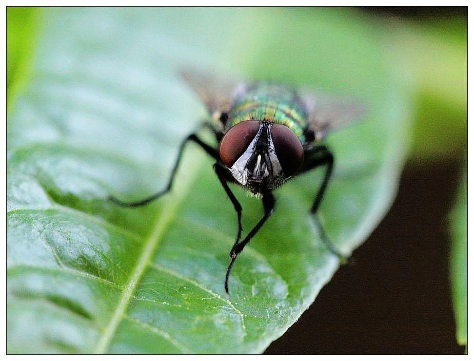 坚挺金苍蝇是什么_苍蝇飞落到某就匆忙搓脚,这是在干什么?_百度知道