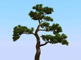 松树是不是常绿树