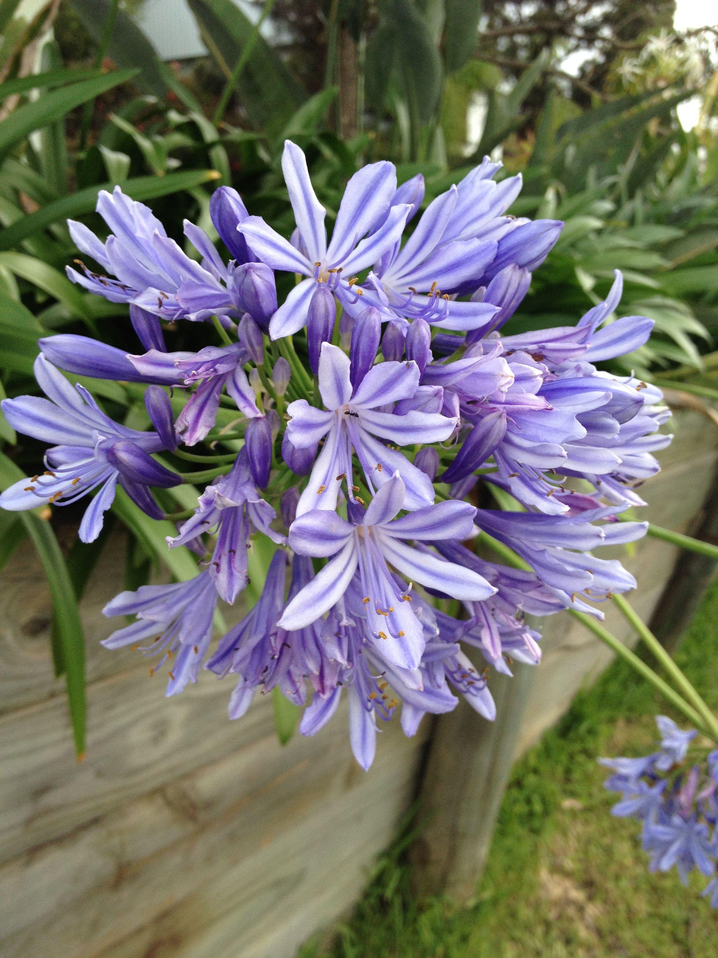 請問這種到底是什么花,屬于什么科的?澳洲春夏之間就開花,很常見!圖片