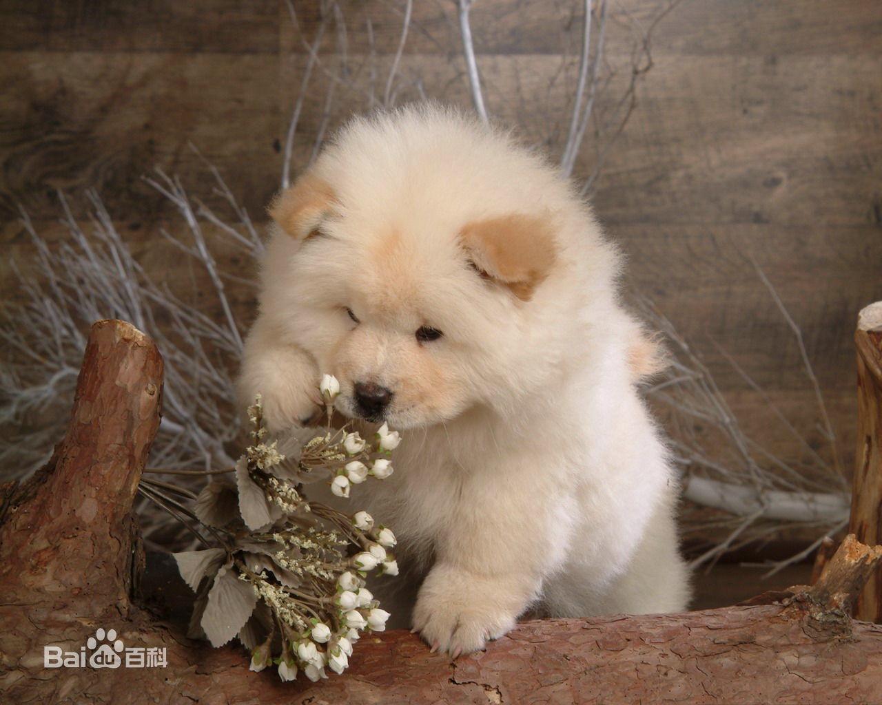 松狮犬怎么看纯种_这狗是纯种的松狮犬吗_百度知道