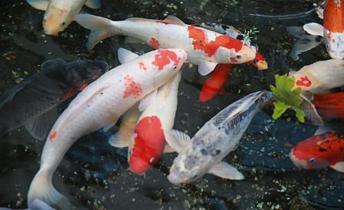 家庭怎样养金鱼视频_锦鲤鱼怎么养?_百度知道