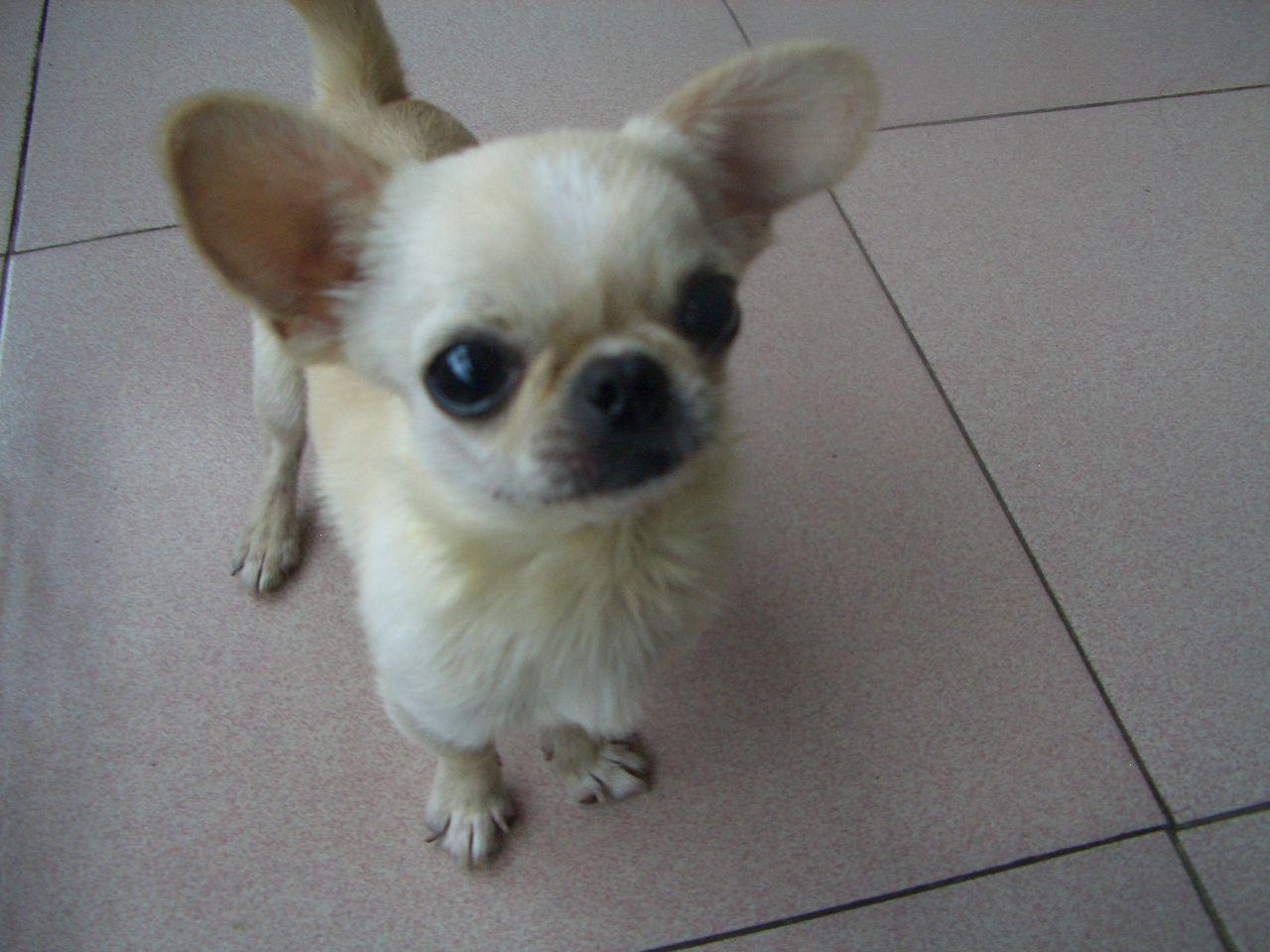 长耳朵短尾巴的狗_小狗眼睛向外鼓,耳朵呈扇形,尾巴长,是什么品种_百度知道
