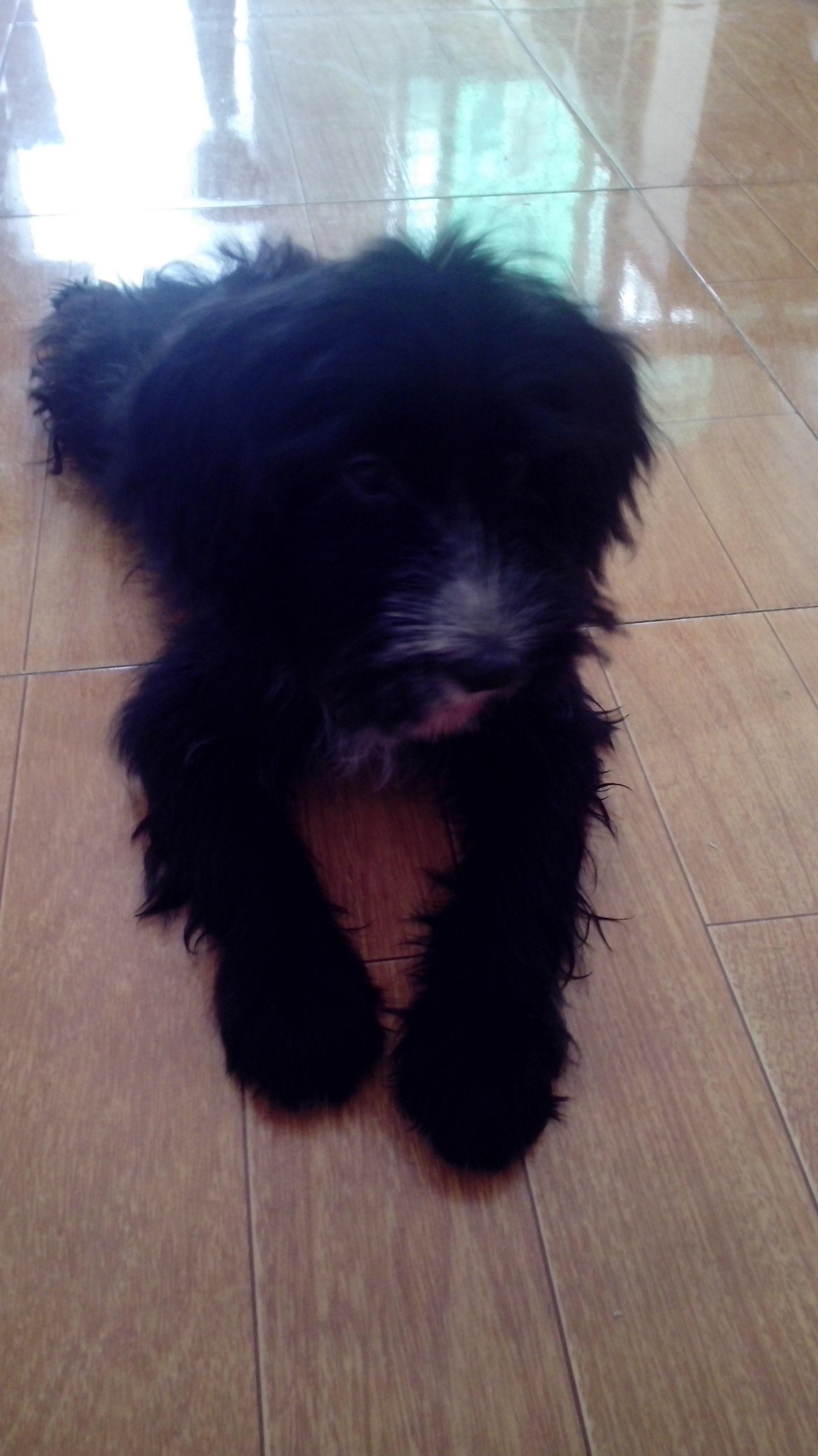 长耳朵短尾巴的狗_有谁知道这种长耳朵短尾巴的狗是什么品种的吗?_百度知道