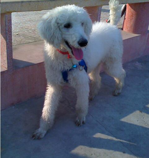 白色巨型贵宾犬价格_巨型贵宾犬可卖多少钱(附图)出售_百度知道
