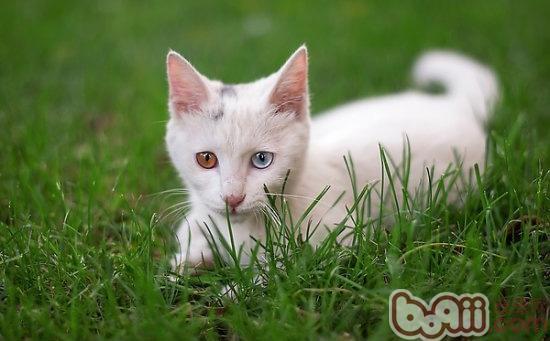 日本田园猫_田园猫